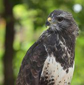 Common buzzard (Buteo buteo) poster