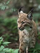 Portrait  of an Eurasian Lynx (Lynx lynx) poster