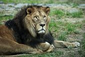 Majestic lion lying on the ground, resting poster