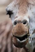 giraffe - close-up portrait of this beautiful african animal (shallow DOF, focus on the mouth) poster