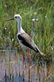 Black winged stilt in Amboseli national park Kenya poster
