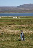 King Penguin at Volunteer Point on the Falkland Islands poster