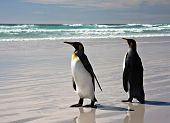 King Penguins at Volunteer Point on the Falkland Islands poster