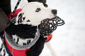 Woman arms in glowes keeping Dalmatian dog with muzzle in mouth in winter time. Dog training poster