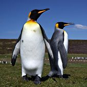 Two King Penguins at Volunteer Point on the Falkland Islands poster