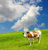 Cow and the ecological environment poster