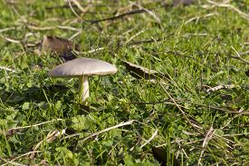 White wild mushroom growing in the grass.