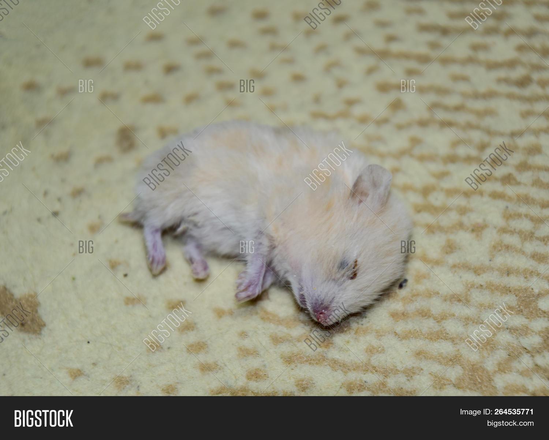 Dead Hamster Lying On Image Photo Free Trial Bigstock