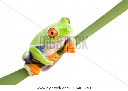 red-eyed tree frog (Agalychnis callidryas) on a leaf, closeup isolated on white