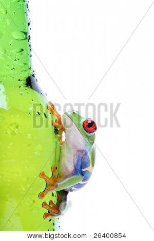red-eyed tree frog climbing on wet glass, Agalychnis callidryas closeup isolated on white