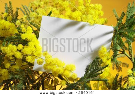 Mimosa Flowers With Blank Card On Orange Background