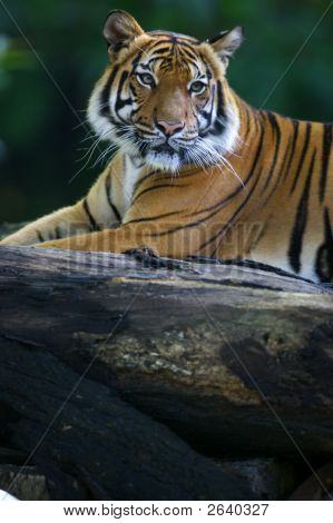 A shot of a Malaysian Tiger in the wild poster