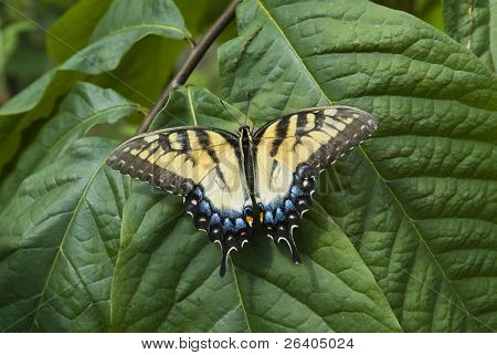 Tiger Swallowtail butterfly on leaf