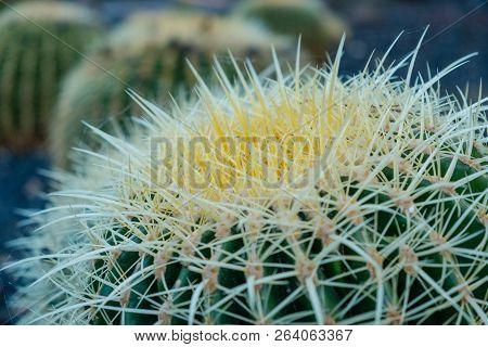 Cactus Plant Closeup, Cactus Plant Macro Outdoor