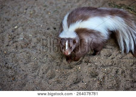 Portrait Of Mephitidae Is A Family Of Mammals Comprising The Skunks And Stink Badgers. Photography O