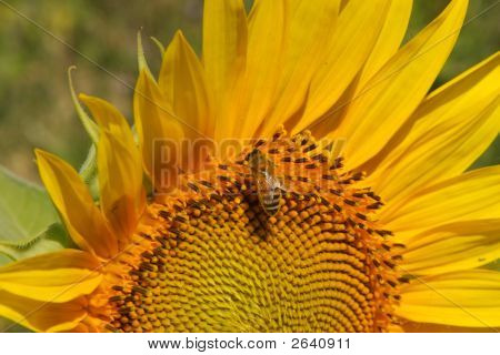 Sunflower And Friend