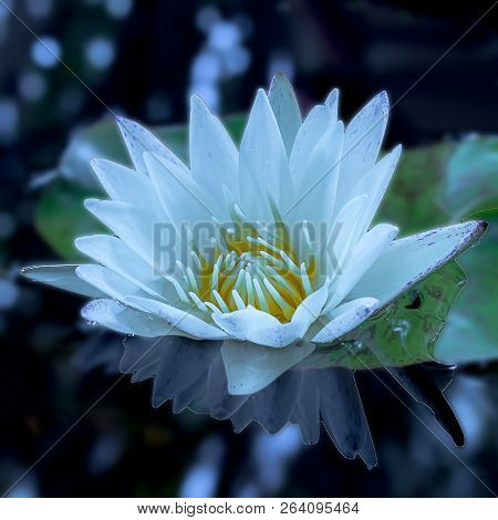 A Beautiful White Lotus Flower And Leaf Green In Pond.