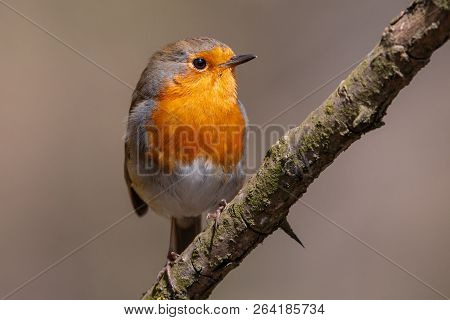 European Robin Perching On The Branch With Clear Brown Background. Robin Redbreast (erithacus Rubecu