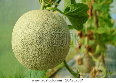 Closed Up A Fresh Muskmelon Or Cantaloupe Fruit On The Tree, Nakornnayok Province In Thailand