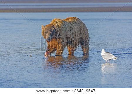 Bear Eating A Salmon On A Tidal Estuary In Hallo Bay In Katmai National Park In Alaska