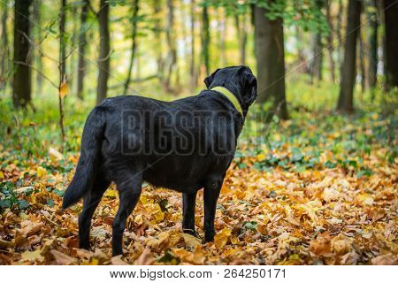 Black Dog Labrador Retriever Standing In The Forest During Autumn, Dog Has Green Collar, Orange Leav
