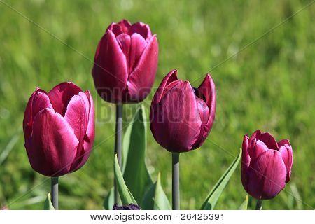 Vier paarse tulpen