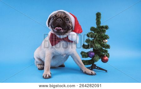 Puppy Breed Pug, Dog In A Cap Like Santa Claus. Puppy Isolated On Blue Background. Happy Christmas A
