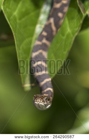 Baby Northern Water Snake (nerodia Sipedon Sipedon) Hanging From A Buttonbush Branch - Ontario, Cana