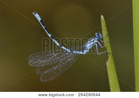 Vernal Bluet (hemaris Diffinis) Displaying Obelisk Posture On A Cattail Leaf At The Edge Of A Pond -