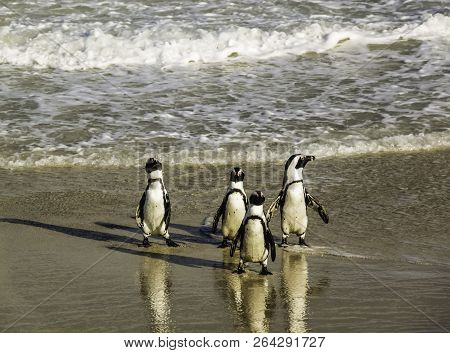 A Waddle Of Cute Penguins Walking Clumsily At Boulder's Beach