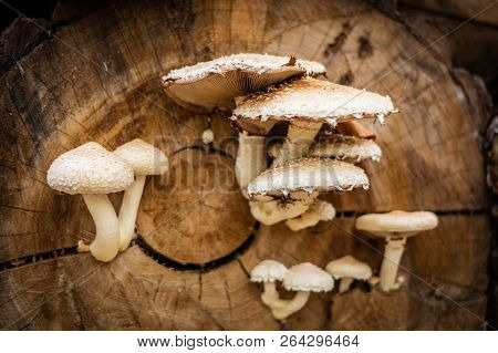 Toxic White And Brown Mushrooms Growing On The Faded Tree