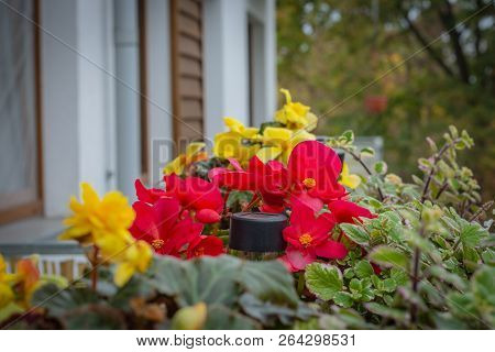 Potted Flowers On The Balcony, Begonias And Plectranthus Glabratus