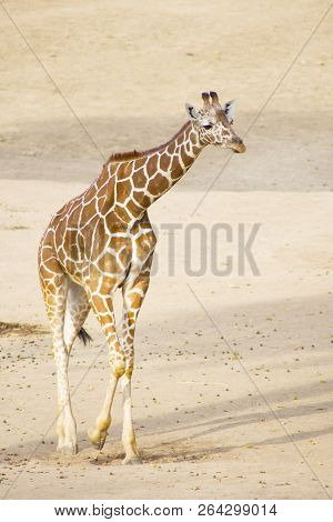 A Young Giraffe Walking In The Zoo. Portrait Of Giraffe.