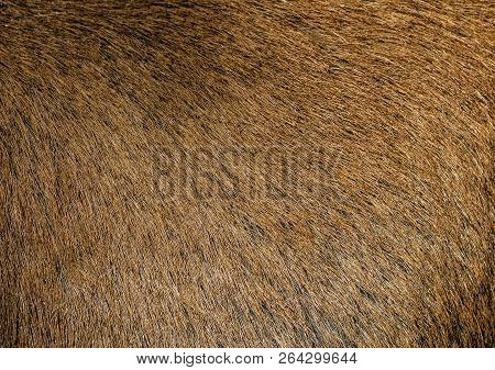 Brown hair goat skin - real genuine natural fur, free space for text. Goat fur close up. Texture of a light brown animal fur coat. Brown short hide background. poster