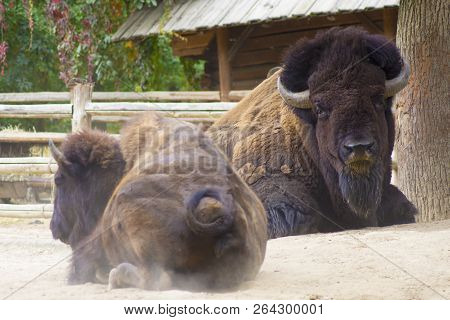 Close Up View Of Two Bisons Sitting At The Zoo.