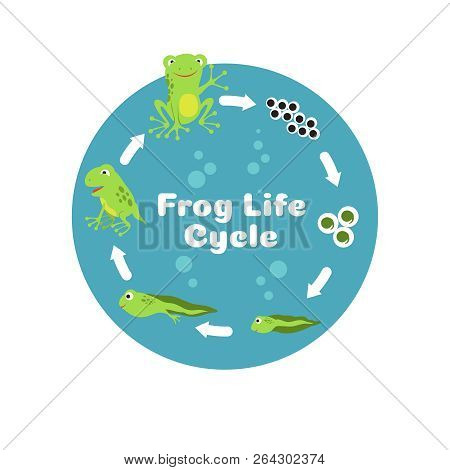 Frog Life Cycle. From Eggs To Tadpole And Adult Frog. Kids Biology Educational Vector Illustration.