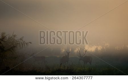 Silhouette Of Red Deer With Antlers And Hinds In Forest On Foggy Morning. Wildlife In Natural Habita