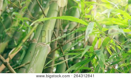 Green Bamboo With Forest Background And Texture.