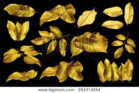 Gold Leaves Isolated On Black Background With Clipping Path.