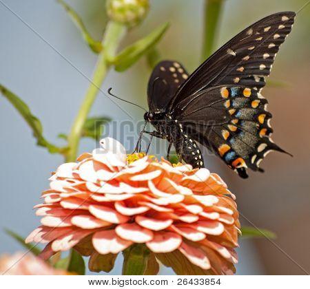 Eastern Black Swallowtail butterfly feeding on pink Zinnia in garden poster