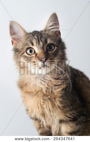 Portrait Of Little Cute Mixed Breed Kitten