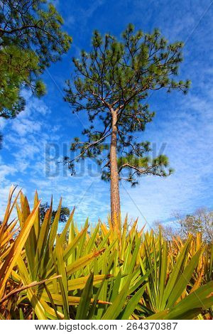 Pine Flatwoods And Saw Palmetto Landscape At Central Florida On A Sunny Day