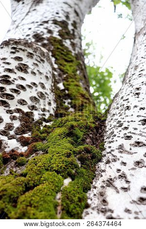 Moss Creeps Upwards Towards The Sky On The Side Of A Tree In A Park. Interesting Perspective To Look