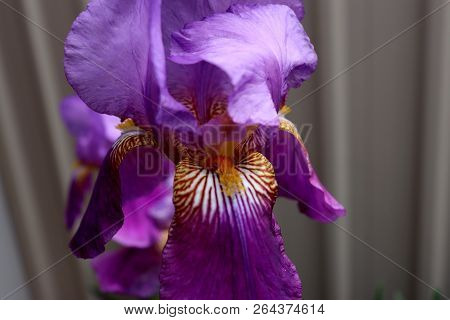 A Beautifully Delicate Iris In A Backyard Garden. The Orange Tiger Stripes Attract Pollinators, And