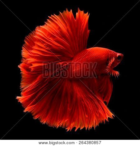 Red Betta Siamese fighting fish. Fins and tail like long skirts, half moon tail, perfect fish elegan
