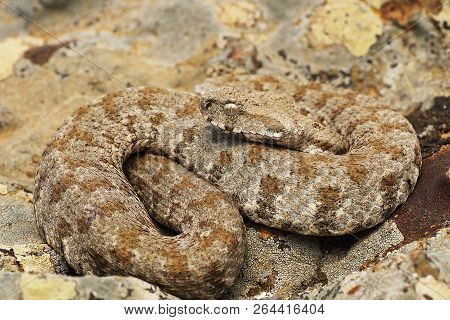 The Beautiful And Dangerous Milos Viper ( Macrovipera Lebetina Schweizeri, Listed As Endangered On I