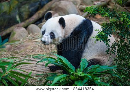 Smiling Giant Panda Sitting Among Green Plants And Trees In The Zoo