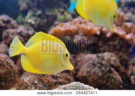 Zebrasoma Fish And Corals In Aquarium, Close Up