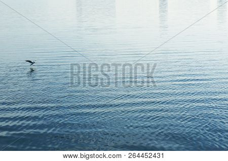White mew gull flying above blue water surface. poster