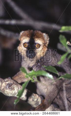 Red-fronted Brown Lemur (eulemur Fulvus Rufus),  Berenty Private Reserve, Anosy, Madagascar
